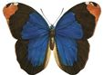 Insects-blue-butterfly.jpg
