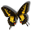 Insects-butterflyblackyellow.jpg
